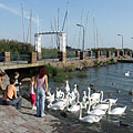In exchange for some food these swans are very enthusiastic - Balatonalmádi, Maďarsko