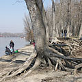 These trees will keep standing even the river washes their roots many times - Dunakeszi, Macaristan