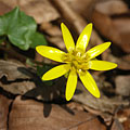 Lesser celandine (Ranunculus ficaria or Ficaria verna), yellow spring flower on the forest floor - Bakony Mountains, Hungria