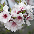 Flowers of an almond tree in spring - Tihany, Hungría