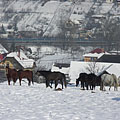 Winter landscape with horses, with the M3 highway in the background - Mogyoród, Hongrie