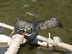An Eastern great cormorant (Phalacrocorax carbo sinensis) is drying her wings and feathers on a tree branch - Budapest, Unkari