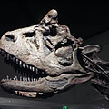 The skull of the Carnotaurus sastrei meat-eater dinosaur - Budapeszt, Węgry