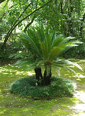 Cycads in the shadows, under the trees - Trsteno, Chorwacja