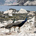 Group of peafowl on the rocky seashore - Дубровник, Хърватия