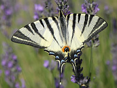 Scarce swallowtail or Sail swallowtail (Iphiclides podalirius), a great butterfly - Mogyoród, Унгария