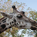 Head of a Rothschild's giraffe (Giraffa camelopardalis rothschildi) - Будапешт, Венгрия