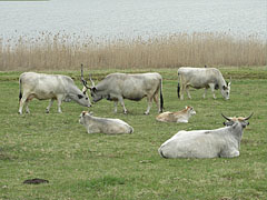 """Hungarian grey cattle, an ancient beef cattle breed of Hungary, and their calves by the Inner Lake (""""Belső-tó"""") - Tihany, Ungarn"""