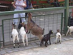 Goats at the fence of the Petting zoo - Budapest, Ungern