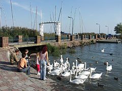 In exchange for some food these swans are very enthusiastic - Balatonalmádi, هنغاريا