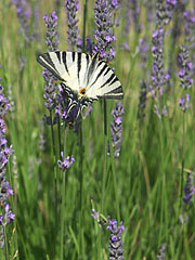 Scarce swallowtail or sail swallowtail (Iphiclides podalirius) butterfly - Mogyoród, هنغاريا