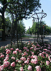 Roses in the park - Békéscsaba, Hungary