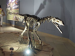 Skeleton of an early predatory dinosaur (Herrerasaurus ischigualastensis) - Budapest, Hungary