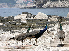 Group of peafowl on the rocky seashore - Dubrovnik, Croatia