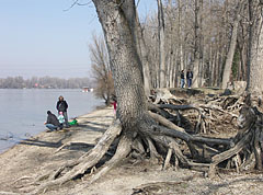 These trees will keep standing even the river washes their roots many times - Dunakeszi, Hungary