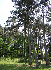Pinewood and other trees - Gödöllő, Hungary