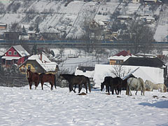 Winter landscape with horses, with the M3 highway in the background - Mogyoród, Hungary