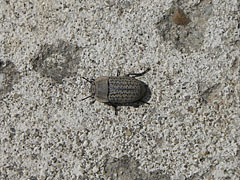 Darkling beetle (Opatrum sabulosum), a tiny gray bug on the rock - Mogyoród, Hungary