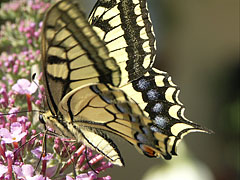 Old World swallowtail or common yellow swallowtail (Papilio machaon), a well-known large butterfly - Mogyoród, Hungary