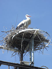 White stork in its nest on the top of an electric pylon - Paks, Hungary