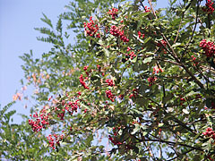 Red berries on a tree - Szentendre, Hungary