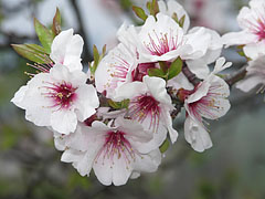 Flowers of an almond tree in spring - Tihany, Hungary