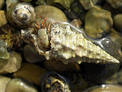 A Hermit-crab is hiding in a snail shell - Slano, クロアチア