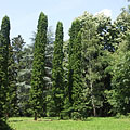 The view of the Arboretum with eastern white cedar trees (Thuja occidentalis) - Gödöllő, 헝가리